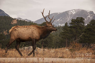 Bull Elk Poster by Juli Scalzi