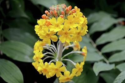 Bulley's Primrose (primula Bulleyana) Poster by Jane Sugarman