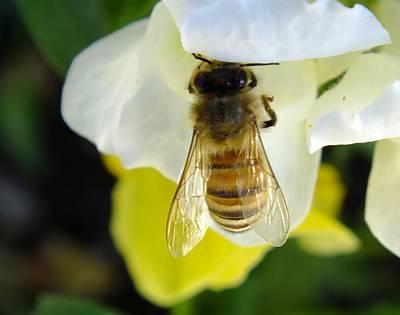 Busy Bee Toowoomba Queensland Australia Poster by Sandra Sengstock-Miller