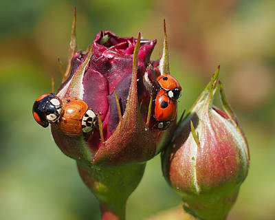 Busy Ladybugs Poster by Rona Black
