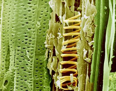 Buttercup Stem, Sem Poster by Science Photo Library
