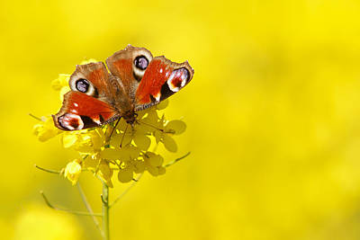 Butterfly In A Field Of Yellow Rapeseed Flowers Poster by Roeselien Raimond
