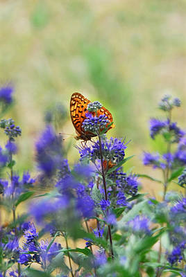 Butterfly On Catmint Flower Poster by Julie Magers Soulen