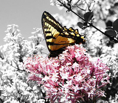 Butterfly On Lilac Poster by Mellisa Ward
