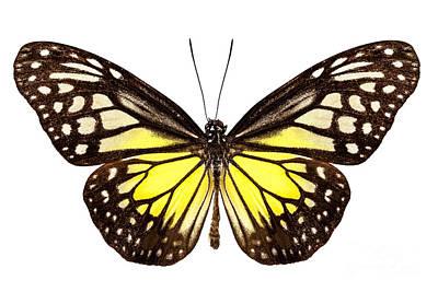 Butterfly Species Parantica Aspasia Common Name Yellow Glassy Ti Poster by Pablo Romero