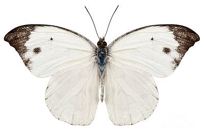 Butterfly Species Pieris Rapae Poster by Pablo Romero