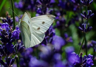 Cabbage Butterfly On Blue Flowers Poster by Jordan Blackstone