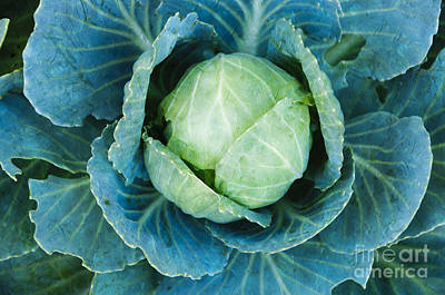 Cabbage Painterly Poster by Andee Design