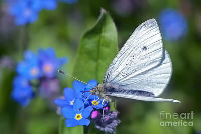 Cabbage White Butterfly On Forget-me-not Poster by Sharon Talson