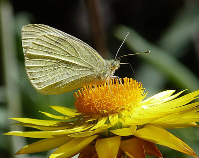 Cabbage White On Yellow Daisy Poster by Margaret Saheed