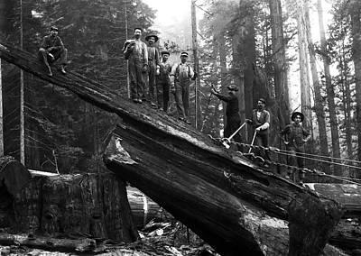 Cabling A Redwood Log C. 1890 Poster by Daniel Hagerman