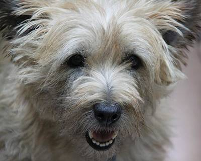 Cairn Terrier - Best Little Pal In The World... Poster by  Andrea Lazar