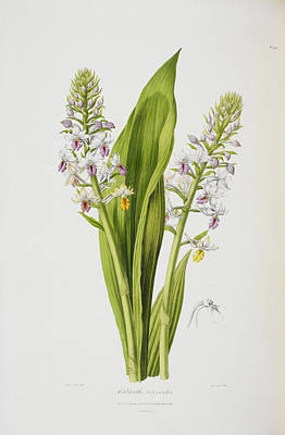 Calanthe Versicolor Poster by British Library
