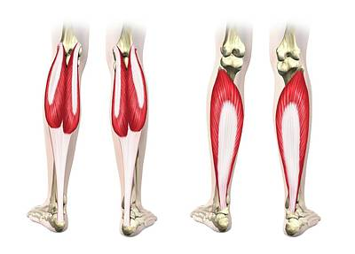 Calf Muscles Poster by Henning Dalhoff