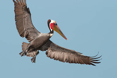 California Brown Pelican With Stretched Wings Poster by Ram Vasudev