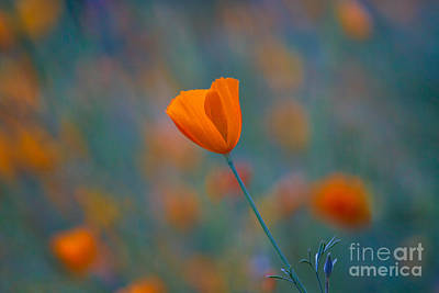 California Poppy Poster by Anthony Bonafede