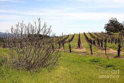 California Vineyards In Late Winter Just Before The Bloom 5d22121 Poster by Wingsdomain Art and Photography
