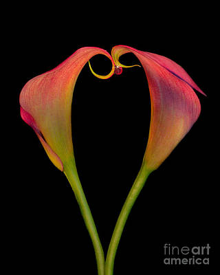 Calla Lillies Kissing Poster by Susan Candelario
