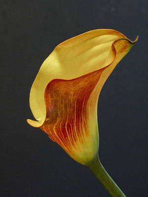 Calla Lilly Poster by David and Carol Kelly
