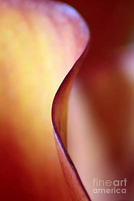Calla Lily Abstract Poster by Darren Fisher