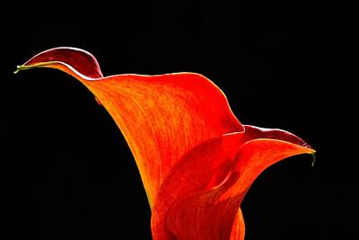 Calla Lily High Contrast Poster by Scott Lyons