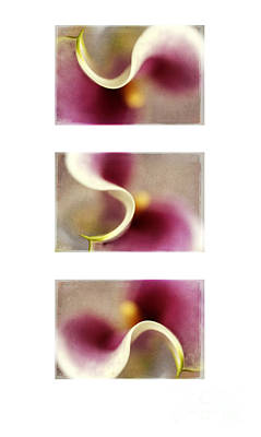 Calla Lily X 3 Poster by Darren Fisher