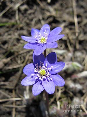 Calling Spring. Two Violets Poster by Ausra Huntington nee Paulauskaite