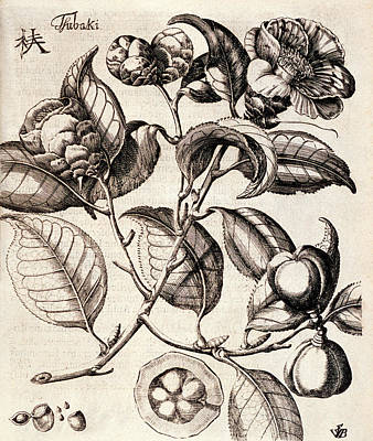 Camellia Japonica Flowers Poster by Natural History Museum, London