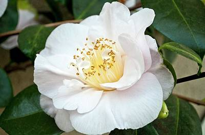 Camellia Japonica 'mrs D. W. Davis' Poster by Bjanka Kadic