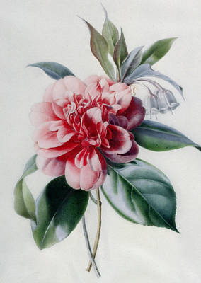 Camellia Poster by Marie-Anne
