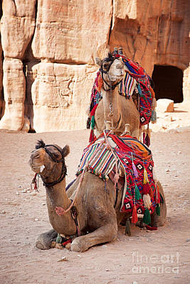 Camels In Petra Poster by Jane Rix