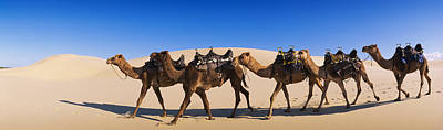 Camels Walking In The Desert Poster by Panoramic Images