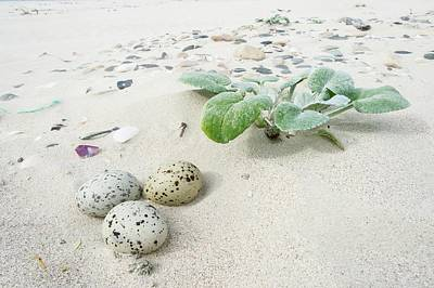 Camouflaged Caspian Tern Nest Poster by Peter Chadwick