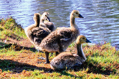 Canada Geese Goslings Poster by Bob and Nadine Johnston