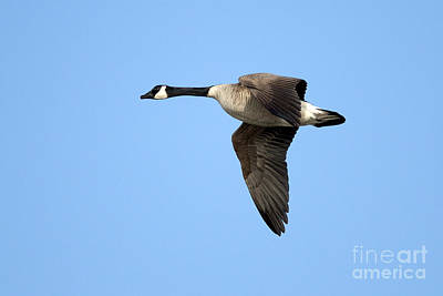 Canada Goose In Flight Poster by Sharon Talson