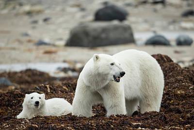 Canada, Manitoba, Churchill, Polar Bear Poster by Paul Souders