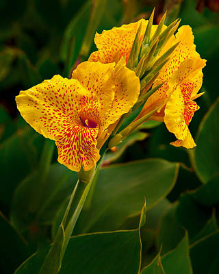 Canna Blossom Poster by Mary Jo Allen