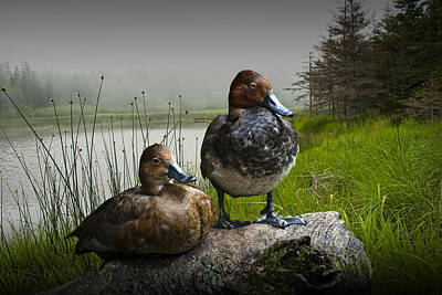 Canvasback Duck Pair By A Pond Poster by Randall Nyhof