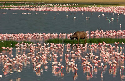 Cape Buffalo And Lesser Flamingos Poster by Panoramic Images