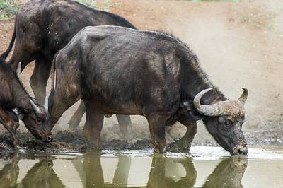 Cape Buffalo Cow Drinking Poster by Peter Chadwick