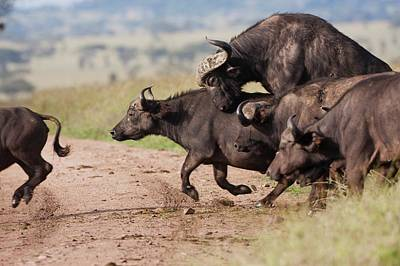 Cape Buffalo (syncerus Caffer) Poster by Photostock-israel