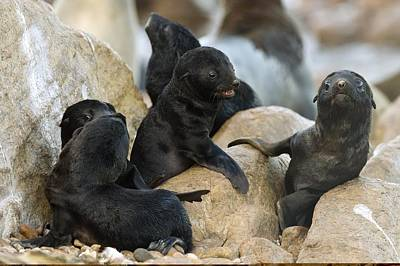 Cape Fur Seal Nursery Poster by Science Photo Library