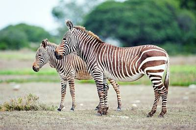 Cape Mountain Zebra And Foal Poster by Peter Chadwick