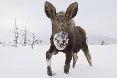 Captive Young Bull Moose In Deep Snow Poster by Doug Lindstrand