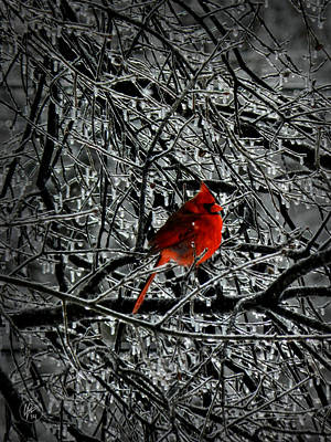 Cardinal In An Ice Storm 001 Poster by Lance Vaughn