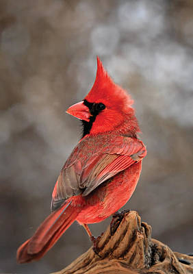 Cardinal On A Log Portrait Poster by Bill Wakeley