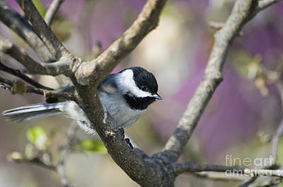 Carolina Chickadee - D008966 Poster by Daniel Dempster