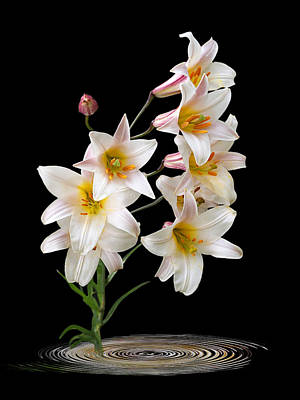 Cascade Of Lilies On Black Poster by Gill Billington