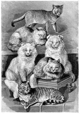 Cat Breeds Poster by Science Photo Library