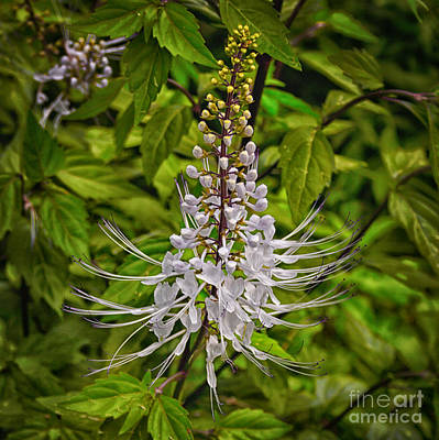 Cat's Whiskers Flower Poster by Wendy Townrow